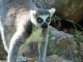 Lemur Zoo de Lagos