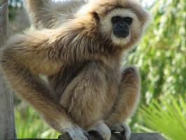 Gibão Zoo de Lagos