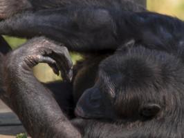 Chimpazé Zoo de Lagos